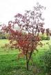 Лиственный крупномер Клен гиннала (Клен приречный, Клен татарский подвид гиннала) (Acer ginnala) (Acer tataricum subsp. ginnala) - 109
