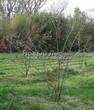 Лиственный крупномер Клен гиннала (Клен приречный, Клен татарский подвид гиннала) (Acer ginnala) (Acer tataricum subsp. ginnala) - 110