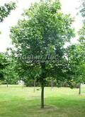 Лиственный крупномер Клен остролистный (Клен платановидный) (Acer platanoides)
