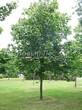 Лиственный крупномер Клен остролистный (Клен платановидный) (Acer platanoides) - 101