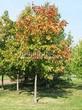 Лиственный крупномер Клен остролистный (Клен платановидный) (Acer platanoides) - 102