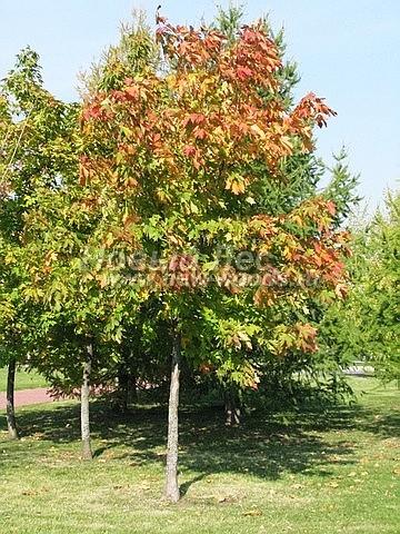 Клен остролистный (Клён платановидный): посадка крупномеров лиственных деревьев