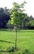 Лиственный крупномер Клен остролистный (Клен платановидный) (Acer platanoides) - 103