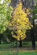 Лиственный крупномер Клен остролистный (Клен платановидный) (Acer platanoides) - 104