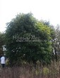 Лиственный крупномер Клен остролистный (Клен платановидный) (Acer platanoides) - 105