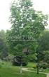 Лиственный крупномер Клен остролистный (Клен платановидный) (Acer platanoides) - 106