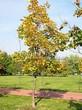 Лиственный крупномер Клен остролистный (Клен платановидный) (Acer platanoides) - 107