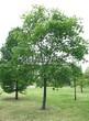 Лиственный крупномер Клен остролистный (Клен платановидный) (Acer platanoides) - 108