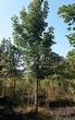Лиственный крупномер Клен остролистный (Клен платановидный) (Acer platanoides) - 109