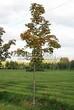 Лиственный крупномер Клен остролистный (Клен платановидный) (Acer platanoides) - 110