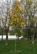 Лиственный крупномер Клен остролистный (Клен платановидный) (Acer platanoides) - 111