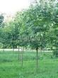 Лиственный крупномер Клен остролистный (Клен платановидный) (Acer platanoides) - 112