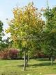 Лиственный крупномер Клен остролистный (Клен платановидный) (Acer platanoides) - 113