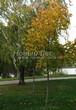Лиственный крупномер Клен остролистный (Клен платановидный) (Acer platanoides) - 114