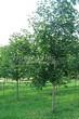 Лиственный крупномер Клен остролистный (Клен платановидный) (Acer platanoides) - 115