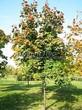 Лиственный крупномер Клен остролистный (Клен платановидный) (Acer platanoides) - 116