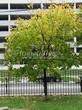 Лиственный крупномер Клен остролистный (Клен платановидный) (Acer platanoides) - 117