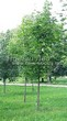 Лиственный крупномер Клен остролистный (Клен платановидный) (Acer platanoides) - 118