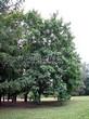 Лиственный крупномер Клен остролистный (Клен платановидный) (Acer platanoides) - 119