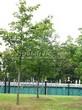 Лиственный крупномер Клен остролистный (Клен платановидный) (Acer platanoides) - 120