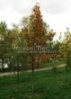 Лиственный крупномер Клен остролистный (Клен платановидный) (Acer platanoides) - 121