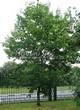 Лиственный крупномер Клен остролистный (Клен платановидный) (Acer platanoides) - 122