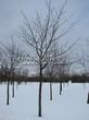 Лиственный крупномер Клен остролистный (Клен платановидный) (Acer platanoides) - 123