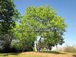 Лиственный крупномер Клен остролистный (Клен платановидный) (Acer platanoides) - 124