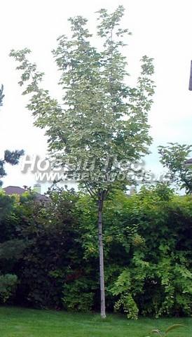 Лиственный крупномер Клен остролистный (Клен платановидный) Друммонда (Друммонди) (Acer platanoides 'Drummondii')