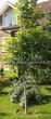 Лиственный крупномер Клен остролистный Друммонда (Acer platanoides 'Drummondii') - 101