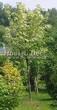 Лиственный крупномер Клен остролистный Друммонда (Acer platanoides 'Drummondii') - 102