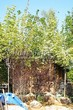Лиственный крупномер Клен остролистный Друммонда (Acer platanoides 'Drummondii') - 103