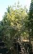 Лиственный крупномер Клен остролистный Друммонда (Acer platanoides 'Drummondii') - 104