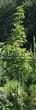 Лиственный крупномер Клен остролистный Друммонда (Acer platanoides 'Drummondii') - 105