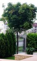 Лиственный крупномер Клен остролистный (Клен платановидный) Глобозум (Acer platanoides 'Globosum')