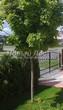 Лиственный крупномер Клен остролистный Глобозум (Клен платановидный Глобозум) (Acer platanoides 'Globosum') - 101