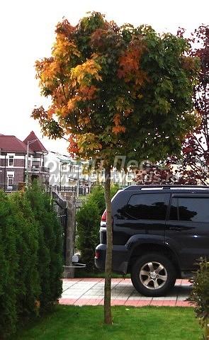Клен остролистный (Клён платановидный) Глобозум: посадка крупномеров лиственных деревьев