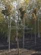Лиственный крупномер Клен остролистный Глобозум (Клен платановидный Глобозум) (Acer platanoides 'Globosum') - 104
