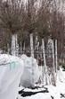 Лиственный крупномер Клен остролистный Глобозум (Клен платановидный Глобозум) (Acer platanoides 'Globosum') - 106