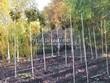 Лиственный крупномер Клен остролистный Глобозум (Клен платановидный Глобозум) (Acer platanoides 'Globosum') - 107