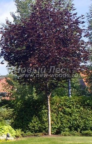 Лиственный крупномер Клен остролистный (Клен платановидный) Роял Ред (Acer platanoides 'Royal Red')