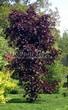 Лиственный крупномер Клен остролистный Роял Ред (Acer platanoides 'Royal Red') - 101