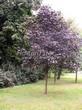Лиственный крупномер Клен остролистный Роял Ред (Acer platanoides 'Royal Red') - 102