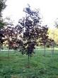 Лиственный крупномер Клен остролистный Роял Ред (Acer platanoides 'Royal Red') - 103