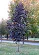 Лиственный крупномер Клен остролистный Роял Ред (Acer platanoides 'Royal Red') - 104