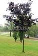 Лиственный крупномер Клен остролистный Роял Ред (Acer platanoides 'Royal Red') - 105