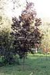 Лиственный крупномер Клен остролистный Роял Ред (Acer platanoides 'Royal Red') - 106