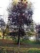 Лиственный крупномер Клен остролистный Роял Ред (Acer platanoides 'Royal Red') - 107
