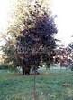 Лиственный крупномер Клен остролистный Роял Ред (Acer platanoides 'Royal Red') - 108