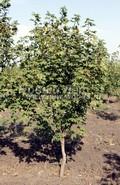 Лиственный крупномер Клен ложноплатановый (Клен белый) (Acer pseudoplatanus)